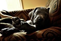 [フリー画像] [動物写真] [哺乳類] [イヌ科] [犬/イヌ] [子犬] [寝顔/寝相/寝姿] [グレートデーン]    [フリー素材]
