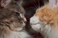 8/24/2009 - kitty kissies (Jon Schusteritsch) Tags: cats cute love loving cat lucy furry nikon sb600 fluffy kisses longisland photoaday mainecoon sidney longhaired d90 nikkor35mmf18 graro