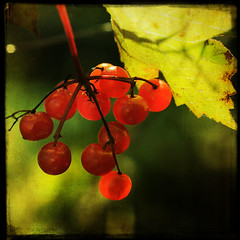 ruby fruit (anniedaisybaby) Tags: autumn red macro green nature leaves sunshine closeup backlight gold thankyou lol jenny harvest trails cranberries 60mm gimli interlake wildberries viburnumtrilobum kalyna highbushcranberries completeherbal cranberrybush telzey playingwithbrushes lesbrumes magicunicornverybest magicunicornmasterpiece yesimstilladdictedtotextures thatwonteverchange notatruecranberry
