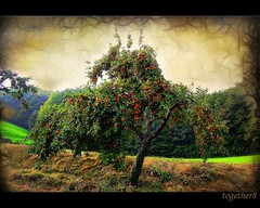 ~ an Apple Tree ~ (together8) Tags: autumn tree texture apple ourtime greatphoto nikond40 visiongroup vosplusbellesphotos goldenart saariysqualitypictures together8 artistictreasurechest themonalisasmile imagesforthelittleprince musicsbest thepyramidgroup