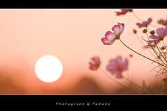 Cosmos (Fukuda.) Tags: flowers fab japan canon eos harmony chapeau fukuoka cosmos bestofthebest flowerpictures flowerscolors naturesgarden bej golddragon worldbest canondslruser crystalaward globalvillage2 flickrbronzeaward heartawards flowerorfoliagedetail shiningstar yourpreferredpicture favoritesofmyfavorites qualitypixels damniwishidtakenthat enarmonaconlanaturaleza thelightpainterssociety theskytheme dragondaggerawards lapetitegalerie zuzkasfaves updatecollection mamasbloomers dreamsilldreaminstead beautifulshotaward