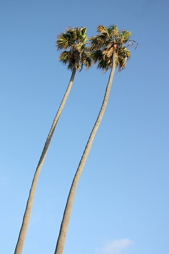 curved palm trees