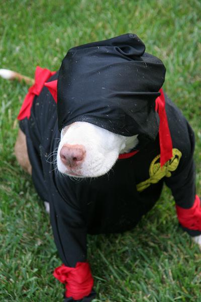 Ninja pit bull in stealth mode