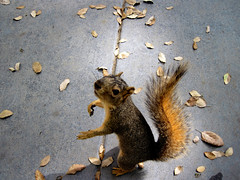 Food? (samuelito5277) Tags: food baby cute primavera leaves animal standing woodland concrete spring furry hands squirrel university fuzzy sunny lindo tiny pointandshoot davis creature ucd begging waterproof canond10 shockproof