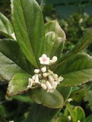 Sandanqua viburnum
