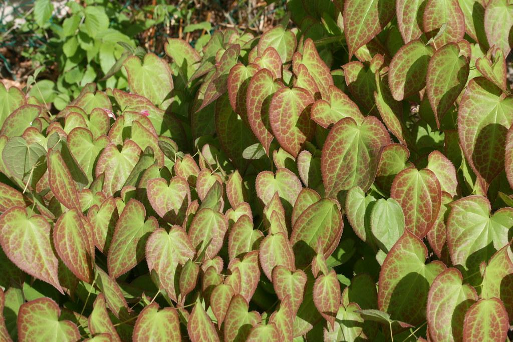 Epimedium Foliage in Spring.