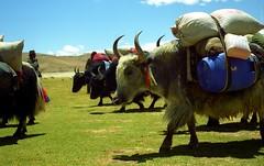 ROWHIDE we are moving again (reurinkjan) Tags: 2002 yak nikon tibet everest dri tingri jomolangma tibetanlandscape lammala janreurink norrdzi བོད། བོད་ལྗོངས།