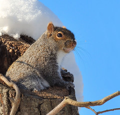 Squirrel (JRIDLEY1) Tags: blue winter fab sky snow tree nikon squirrel soe d3 cubism supershot zenfolio abigfave platinumphoto anawesomeshot impressedbeauty goldstaraward vosplusbellesphotos jridley1 jimridley nikkor80400mmvrf4556ded dailynaturetnc09 httpjimridleyzenfoliocom photocontesttnc10 lifetnc10 photocontesttnc11 photocontesttnc12
