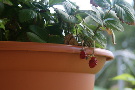 Strawberries in hanging basket