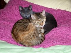 (k8southern) Tags: cats print tabby sophie plum bluecat brownmackereltabby graycat browntabby