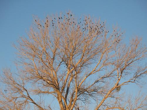 Brewers blackbirds roosting