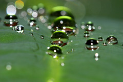 Lost: Marbles (curious_spider) Tags: macro water rain hawaii beads leaf rainforest bokeh jungle refraction marbles bigisland waterdrops orbs polished linedup canon100mm