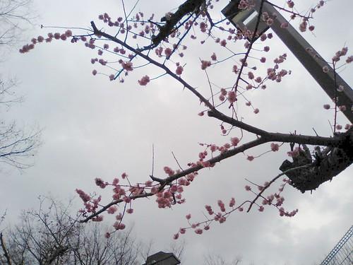 (Japanese appricot) Mei Hua