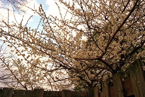 洗足池の梅
