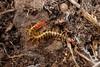 Ciempiés (calafellvalo) Tags: insect insecte insecto cienpies millipedes escolopendra ciempiés miriápodo calafellvaloyahoocom quilópodo tausendfübler