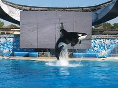 Shamu (MikeWu) Tags: show california animal america jump unitedstates sandiego performance whale orca seaworld shamu killerwhale themepark
