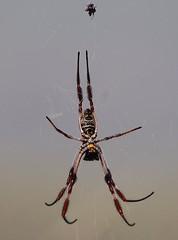 Queensland Spider (msdstefan) Tags: pictures trip travel vacation holiday tiere spider pics urlaub au australia nikond50 best queensland spinne australien rtw downunder nicest tier tierwelt