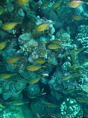 Vanikoro Sweepers (phrixus nyx) Tags: sea underwater redsea egypt scuba diving scubadiving sonycybershot hurghada marinelife sweeper glassfish p150 bananareef orcadivers pempherisvanicolensis