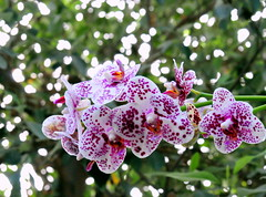 Freckles (ecco9494) Tags: nyc newyorkcity orchid color nikon bronx explore freckles jol d300 explorewinnersoftheworld