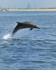 Coastal Bottlenose Leaping (ScottS101) Tags: california mammal dolphin coastal dolphins marinemammal cetacean tursiopstruncatus tursiops coastalbottlenose