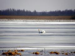 Pejza wiosenny (September Songs) Tags: river landscape spring swan poland polska cygnusolor wiosna  biebrza podlasie abd  pejza cygnetubercul peysage burzyn