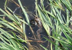 Frogs (Albert S. Bite) Tags: frog eggs spawn common