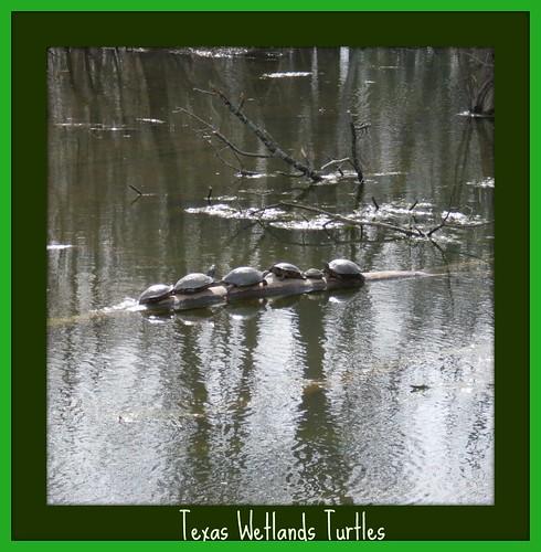 Texas Wetlands Turtles