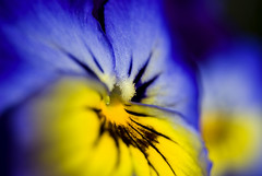 Coeur de pense, Pansy, Viola, La Norville, France 2009 (Baloulumix) Tags: france flower macro art nature fleur plante photography photo julien pansy jardin coeur zen  viola  2009 pense  penses            vgtal   jardinzen   lanorville jardinplante baloulumix  wonderfulworldofflowers violaces   fourniol fournioljulien julienfourniol