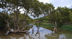 Mangroves (dicktay2000) Tags: trees water sydney australia mangrove bundeena mainbar img6304 pfosilver