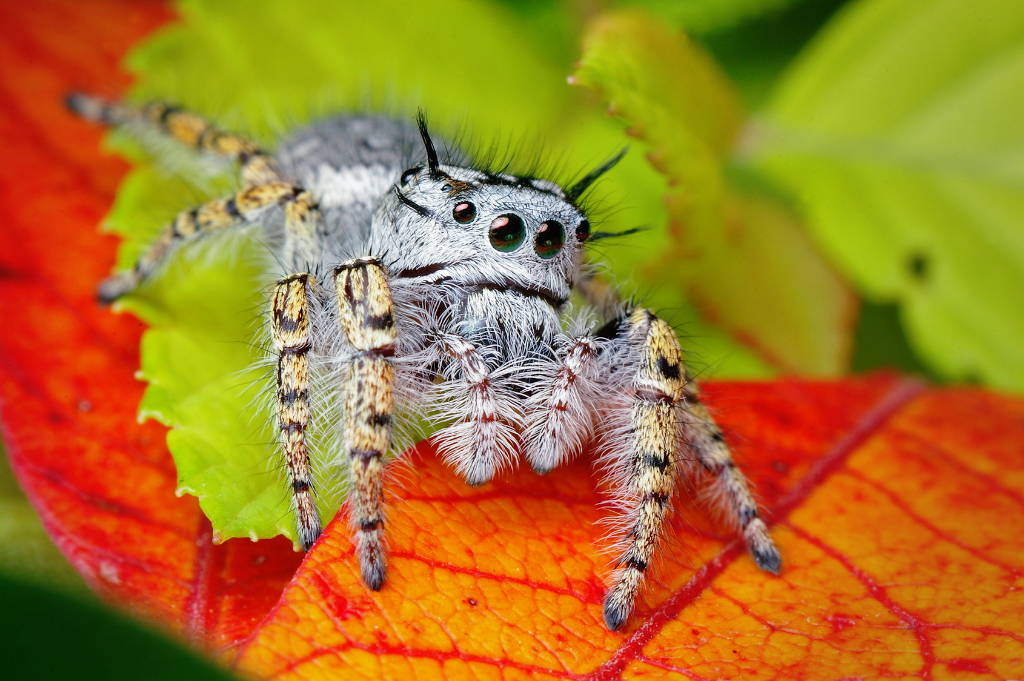 Spider close-up: Adult Female Jumping Spider