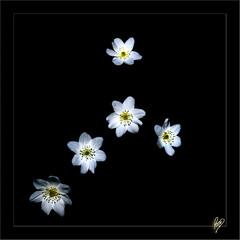 Upsilon 5 (Paco CT) Tags: flowers wild white black flores flower blanco negro flor explore 2009 vegetal rupit silvestres ltytr1 pacoct sortidazz
