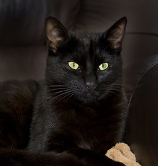 Tom Cat (Theresa Elvin) Tags: portrait black tom cat feline abigfave impressedbeauty theunforgettablepictures saariysqualitypictures