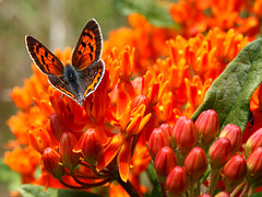 American Copper Butterfly (donsutherland1) Tags: flowers summer ny newyork butterfly blossoms july papillon bloom 2009 butterflyweed armonk williamburden lycaenaphlaeas americancopper