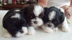 Chloe and her brothers (gix2lee) Tags: dog white puppy shih tzu shihtzu lion chloe lee cutedog liver chrysanthemum liondog patra brownandwhite brownandwhitedog liverandwhite shihtzudog brownandwhiteshihtzu chrysanthemumdog chloepatralee lapetitchocolat chloepatraleelapetitchocolat liverandwhiteshihtzu liverandwhiteshihtzubrownandwhiteshihtzu liverandwhitedog