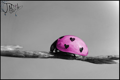 A Real Lady (_David_Meister_) Tags: pink bw color colour macro nature animal lady photoshop bug germany insect hearts deutschland heart girly edited natur picture kitsch ps photograph ladybug makro farbe insekt girlie highlight herz tier käfer marienkäfer herzen kitschig platinumheartaward areallady davidmeister