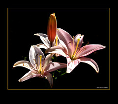 A Dream of Lillies.... (West County Camera) Tags: friends lillies oa onblack pinklillies imagepoetry flowersarebeautiful platinumheartaward thisisexcellent flickrestrellas mimamorflowers exphoto saariysqualitypictures flowerquest platinumpeaceaward oracoob oracosm magicunicornverybest magicunicornmasterpiece mygearandmepremium mygearandmebronze mygearandmesilver mygearandmegold mygearandmeplatinum mygearandmediamond aboveandbeyondlevel4 aboveandbeyondlevel1 aboveandbeyondlevel2 aboveandbeyondlevel3 vigilantphotographersunite vpu2 vpu3 vpu4 vpu5 vpu6 vpu7 vpu8 vpu9 vpu10