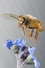 Honey bee (linden.g) Tags: macro speed high flight bee honey laser external trigger potofgold insectinflight platinumheartaward macrolife dragondaggerphoto stopshot cognisys