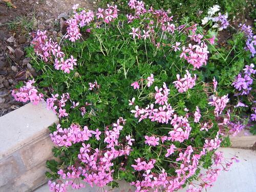 天竺葵Geranium