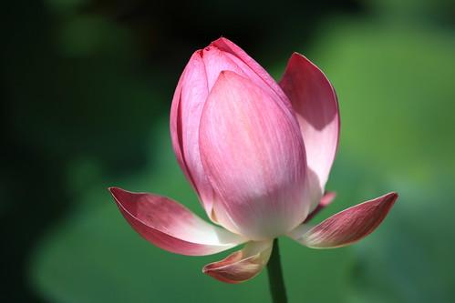 フリー画像| 花/フラワー| 蓮/ハス| 蕾/つぼみ| ピンク/花|       フリー素材|
