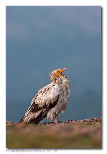 Egyptian Vulture Calling, Ramanagara
