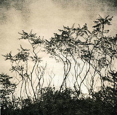 Dancing Trees (holgagirl) Tags: morning bw fog wisconsin mediumformat square holga sumac lith lithprint grafton alternativeprocess lionsdengorge autaut vickireed