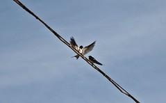 Yes mom, I'm clean!! (luca301285) Tags: italy fauna luca nikon italia uccelli swallow marche swallows rondini rondine d40 castelfidardo galluzzi 18105vr luca301285