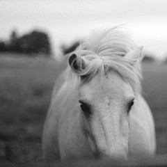 Another Runaway (mister sullivan) Tags: life uk bw horse white black field wales hair lens silent wind f14 m42 manual buttonmooon