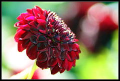 Blood, Sweat And Tears... (Fifi 1968) Tags: dahlia red macro blood bokeh vosplusbellesphotos