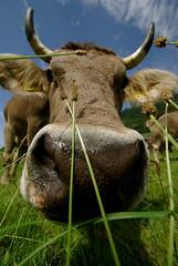 do you still see me? (Stephi 2006) Tags: cow gras aficionados pentaxk10d versteckspielen tamron1024mmf3545diiildsp schweiz2009