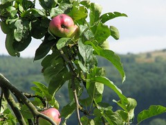 An apple a day......... (Ameliepie) Tags: pink red summer vacation green apple nature fruit season landscape fruittree