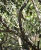 Campylorynchus megalopterus (barbetboy) Tags: campylorhynchus fbwnewbird fbwadded graybarredwren campylorhynchusmegalopterus