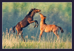 The leading man (hvhe1) Tags: wild horses horse sunlight playing holland nature netherlands animal happy nationalpark bravo searchthebest wildlife stallion biesbosch wetland wildhorse interestingness7 hvhe1 hennievanheerden lightstylus