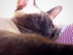 va a seguir lloviendo? (ominita) Tags: cat nikon siamese gato milton 2009 sealpoint siams coolpixs7c septiembre2009