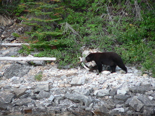 Black Bear on the Shore of Lake Waterton
